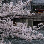 大川天満橋の桜